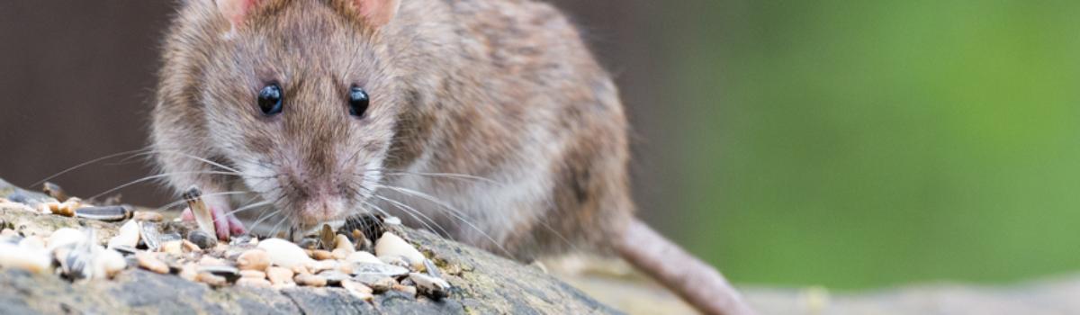 V Budějovicích zahájili vodaři další válku s potkany