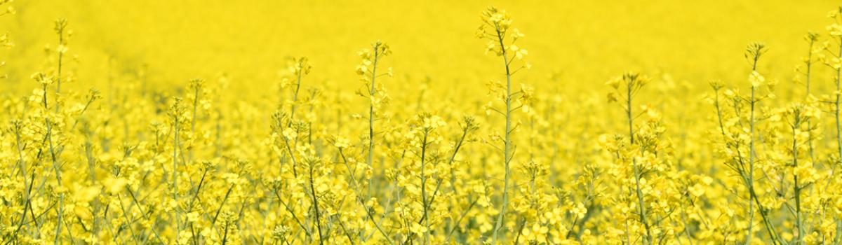 V povrchových vodách jsou pesticidy, souvisí i s řepkou